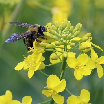 Bee Canola Pollen Yellow Bloom Nature Field